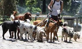 Paseadores de perros registrados: pretenden regular su actividad