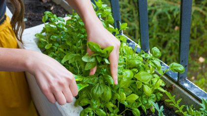 Es hora de plantar albahaca | Huerterxs Villa Luro recomienda
